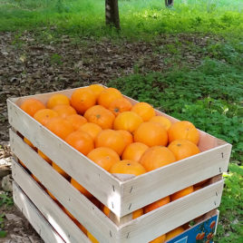 "Washington Navel oranges size ""Small"""